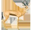 Dorcas Gazelle - Fell 20