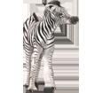 Zebra - Fell 9