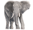 Elefant - Fell 52