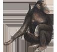 Schimpanse - Fell 69