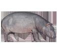 Flusspferd - Fell 52