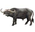 Büffel - Fell 37