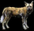Afrikanischer Wildhund - Fell 36