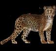 Leopard - Fell 46