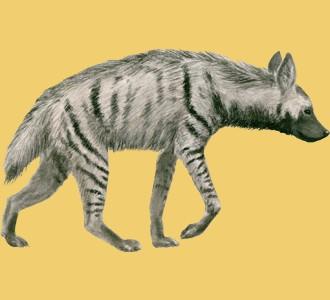 Gestreifte Hyene - Fell 9